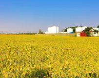 水稻大丰收