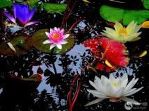 红紫黄白睡莲花王中之花顶瓜瓜