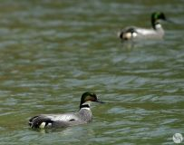 丹江河来了珍稀鸟类--罗纹鸭