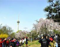 北京玉渊潭樱花节随拍之十三