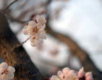 杏花迎春归