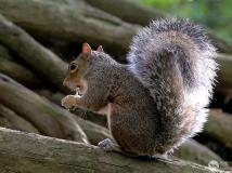 2014年第九期月赛:可爱的小松鼠(组图)——拍摄于伦敦老鹿公园
